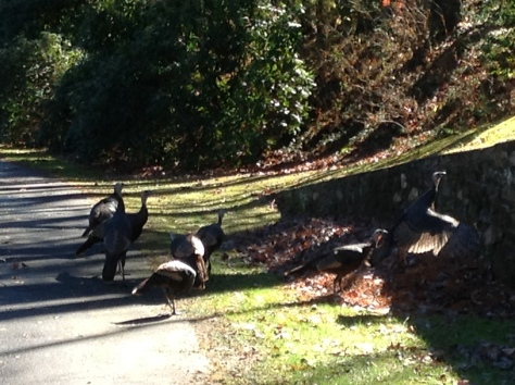 Turkeys in our front yard